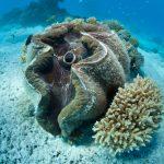 Zuchtperle auf den Cookinseln