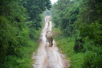 Elefant im Dschungel von Thailand