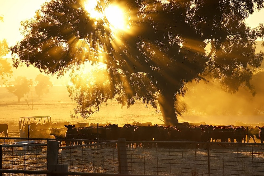 Rinderfarm in Westaustralien