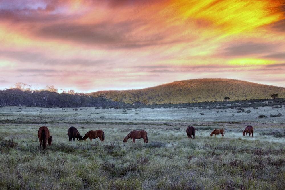 Wildpferde in der Kimberley Region