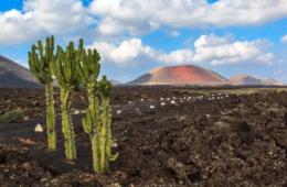 Kaktus auf Feld in Lanzarote