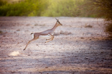 Gazelle,Sir Bani Yas