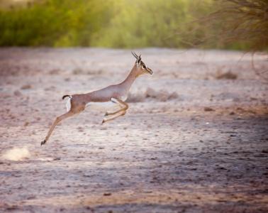 Gazelle,Sir Bani Yas