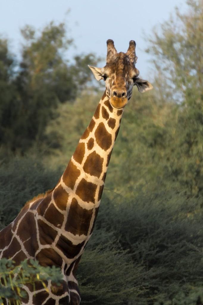 Giraffe blickt in Kamera