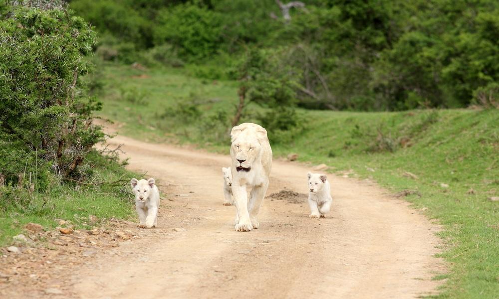 Begegnung mit dem weißen Löwen