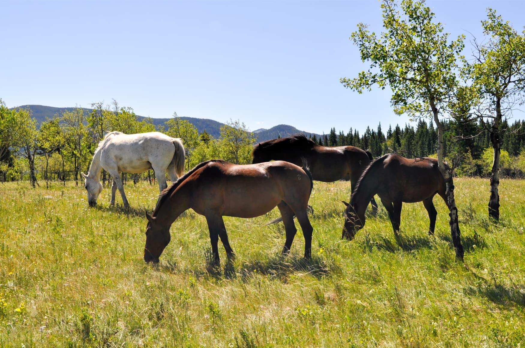 Die Pferde der Rafter Six Ranch grasen auf einerWiese.