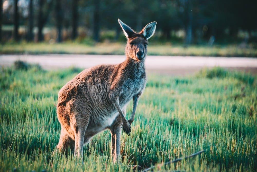 Känguru auf Heirisson Island