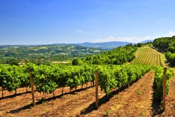 Weinanbau in Serbien