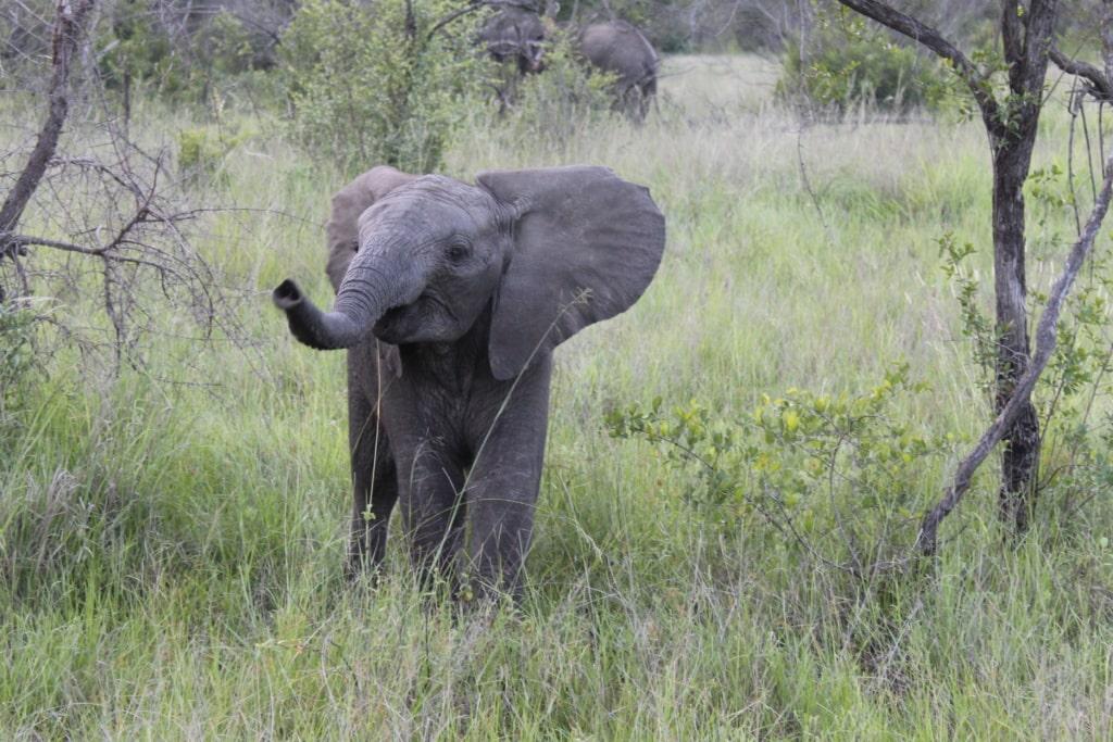Elefantenbaby im Wildreservat Sabi Sabi in Südafrika