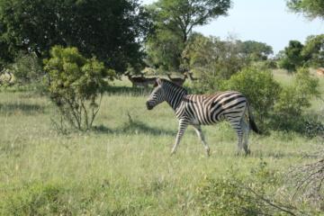 Zebras im Wildreservat Sabi Sabi in Südafrika