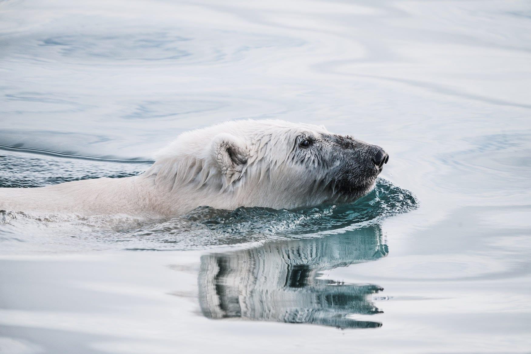 Schnauze von Eisbär guckt aus dem Wasser. Er schwimmt durchs Meer