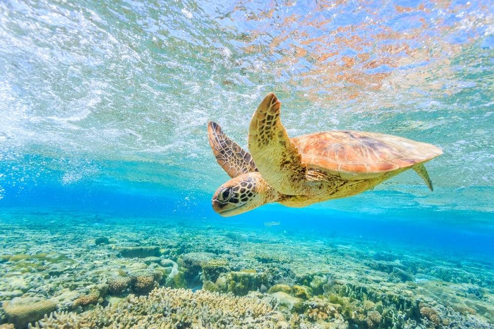 Schildkröte am Riff von lady Elliot Island