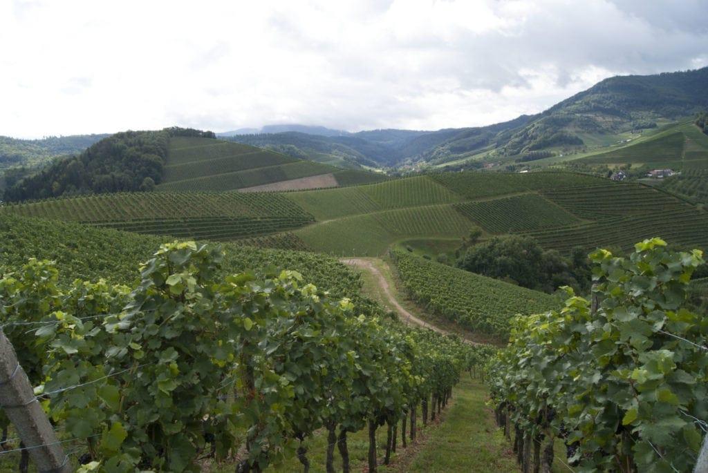 Weinwandern in der Nähe von Durbach, Schwarzwald