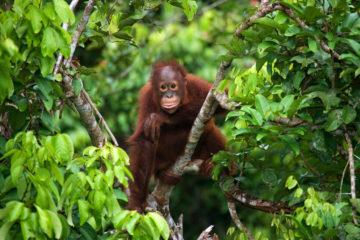 Borneo: Orang-Utan-Baby