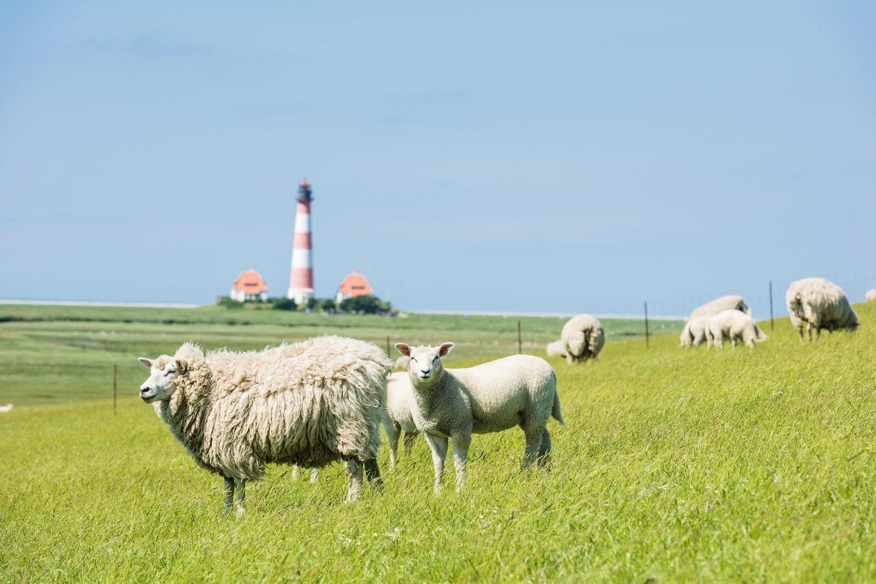 Roadtrip Nordsee: vorbei an glücklichen Schafen