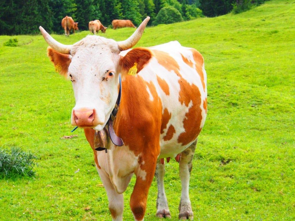 Kuh-Geläut in Garmisch-Patenkrichen