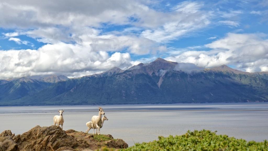 Dallschafe in Alaska