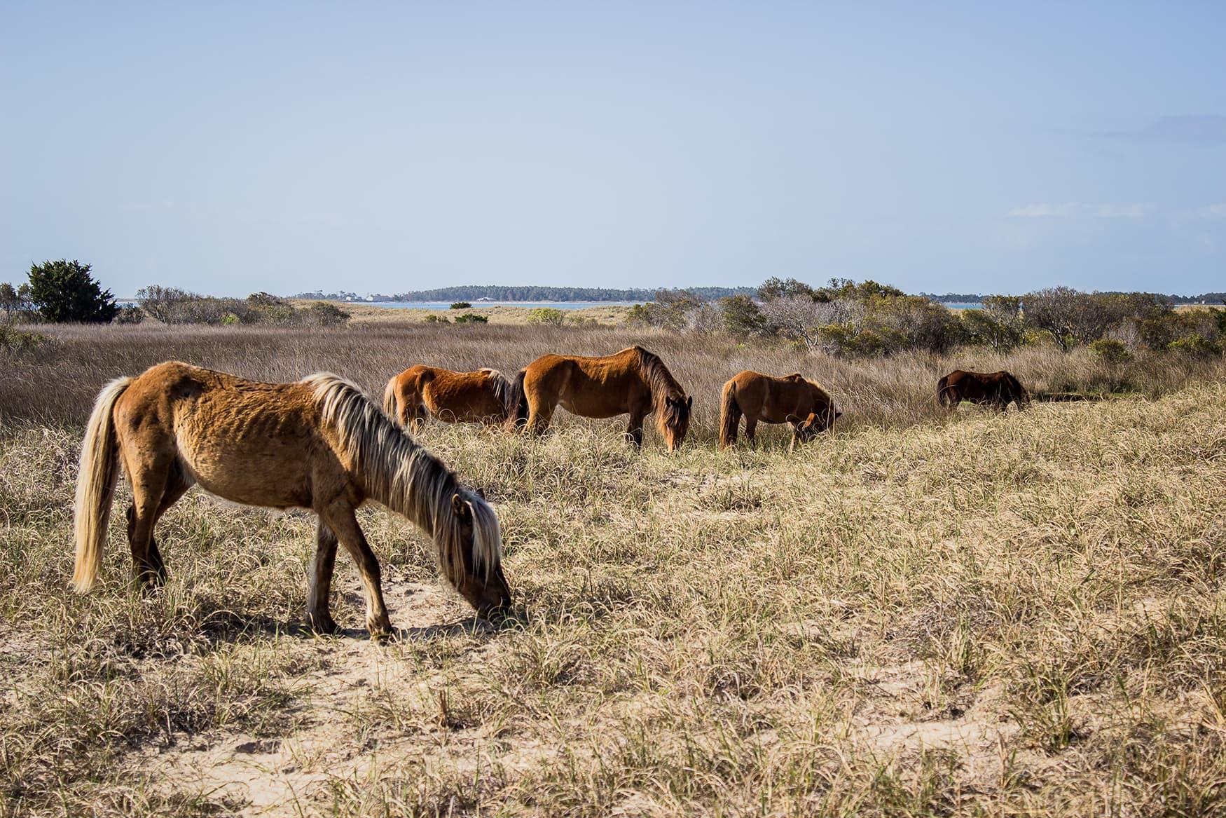 Ponys in North Carolina, USA