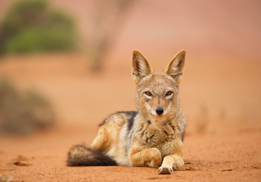 Schakal in der Namibwüste