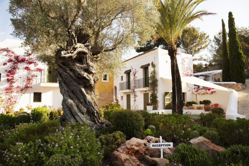 Olivenbaum im Cas Gasi