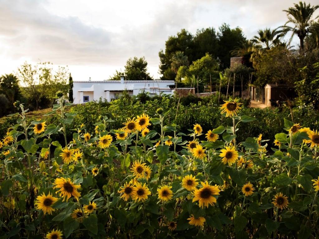 Sonnenblumen, im Hintergrund das Cas Gasi auf Ibiza