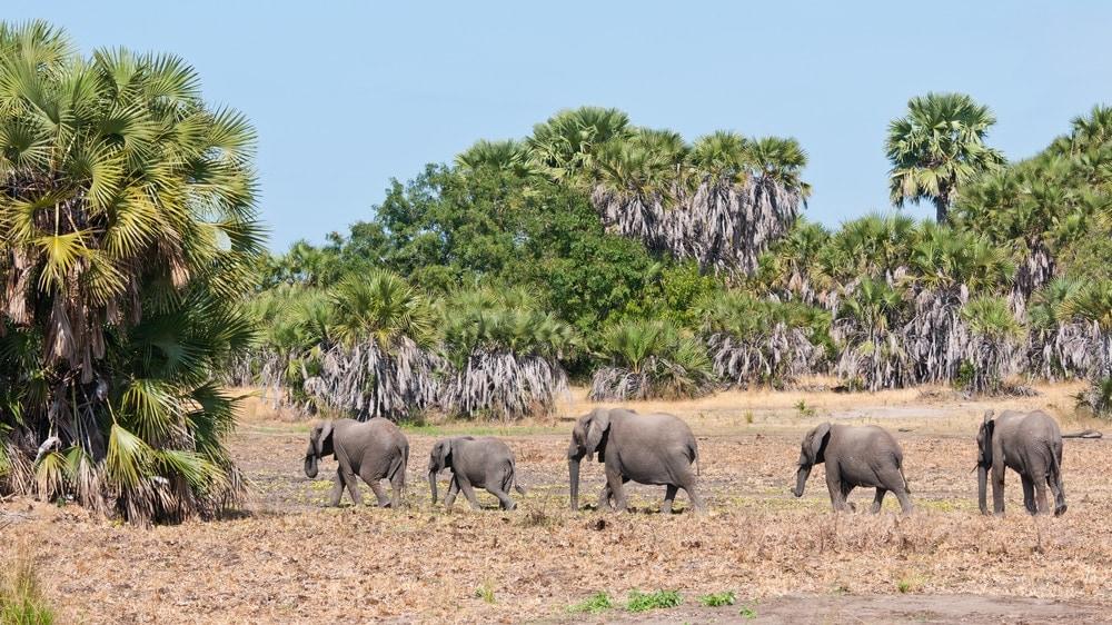 Elefanten,Selous National Park,Tansania