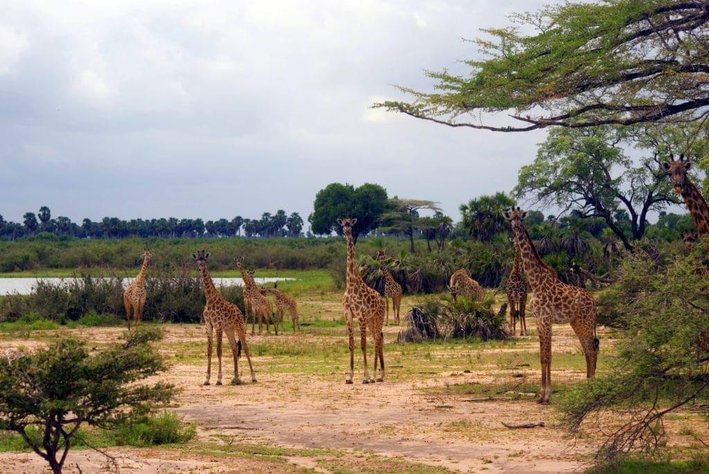 Giraffen,Afrika,Tansania,Selous National Park,