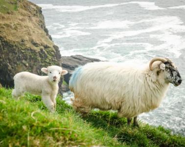 Schaafe an der Küste Irlands