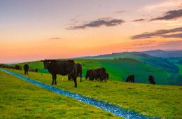Kühe auf Wiese in der Umgebung von Brighton