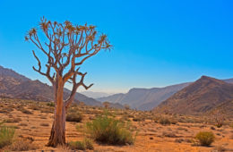 Baum,Südafrika,Ai-ais-Richtersveld Nationalpark