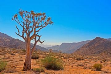 Baum,Südafrika,Ai-ais-Richtersveld Nationalpark