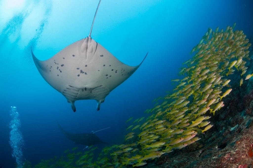 Die Malediven sind ein Schnorchelparadies für Mantarochen.
