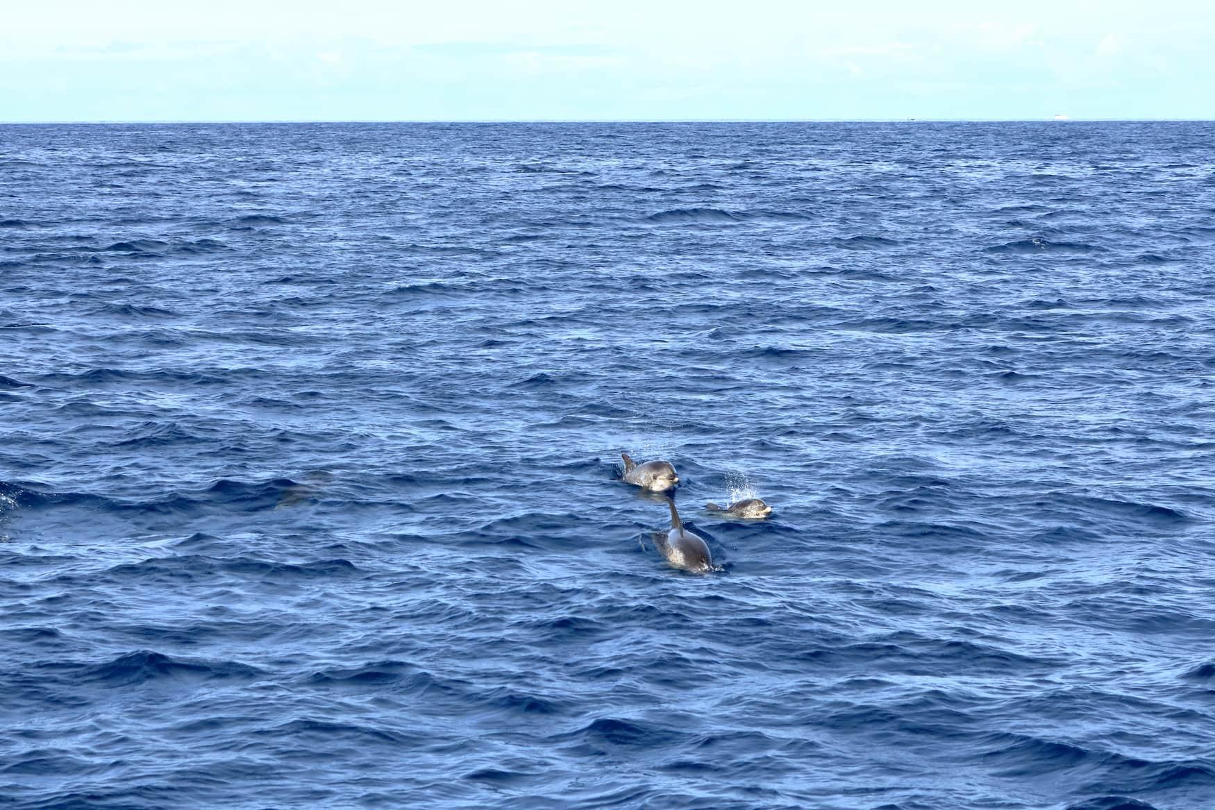 Delfine schwimmen vor der Küste der Kanareninsel La Gomera