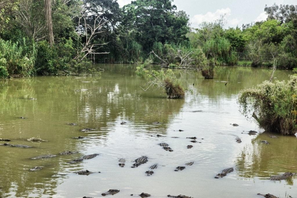 Alligatoren in den Everglades in Florida