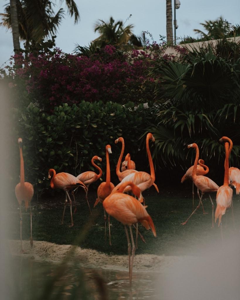 Flamingos sind die Nationaltiere der Bahamas.