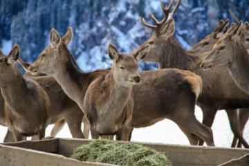 Wildtierfütterung in Österreich: Hirsche in den Alpen