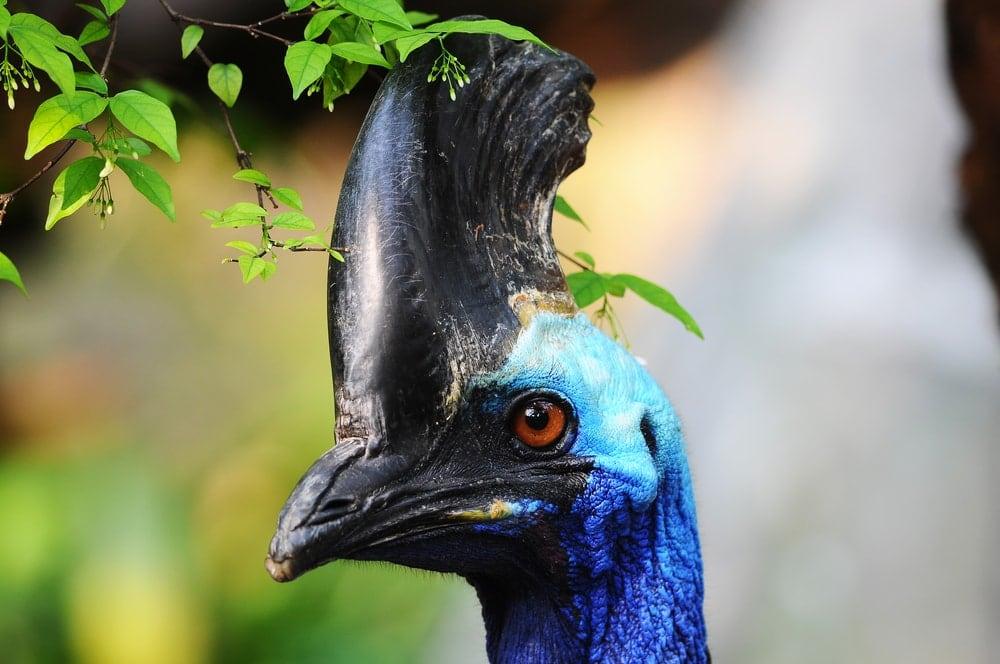 Seltener Vogel: Kasuare
