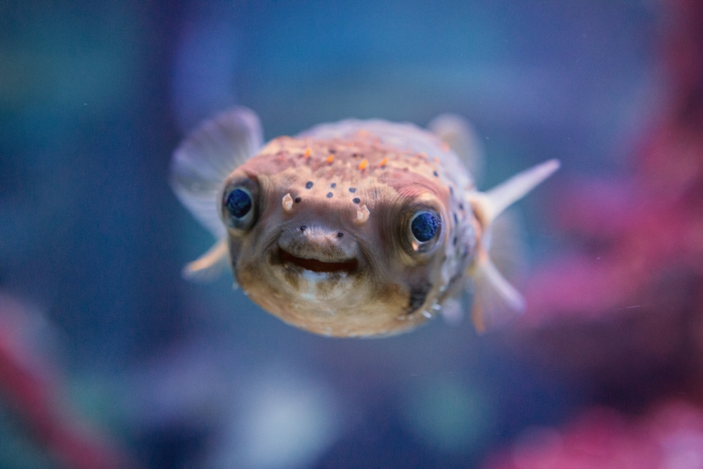 Lustmittel: Kugelfisch aus Asien