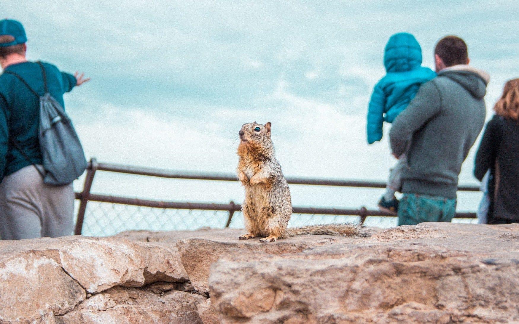 Kleides Nagetier zwischen Besuchern des Grand Canyon