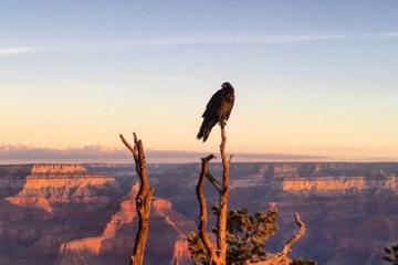 Adler sitzt auf Baumspitze. Im Hintergrund liegt der Grand Canyon während der Dämmerung.
