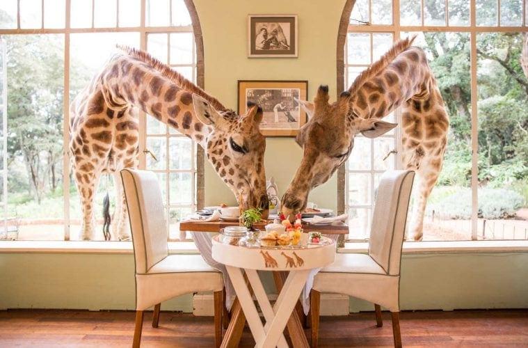 Ein gewöhnlicher Morgen in der Giraffe Manor!