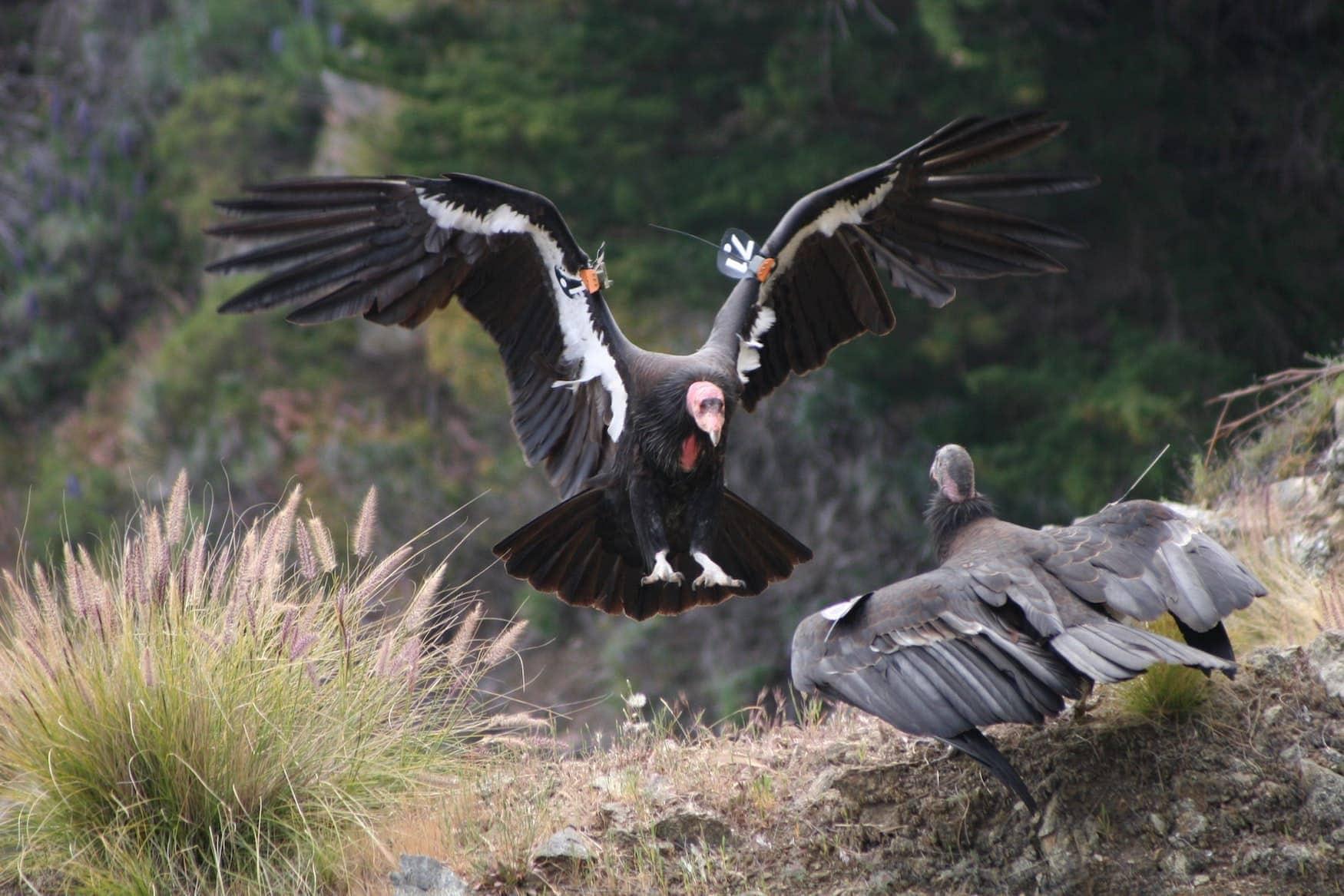 Zwei Kalifornische Kondore