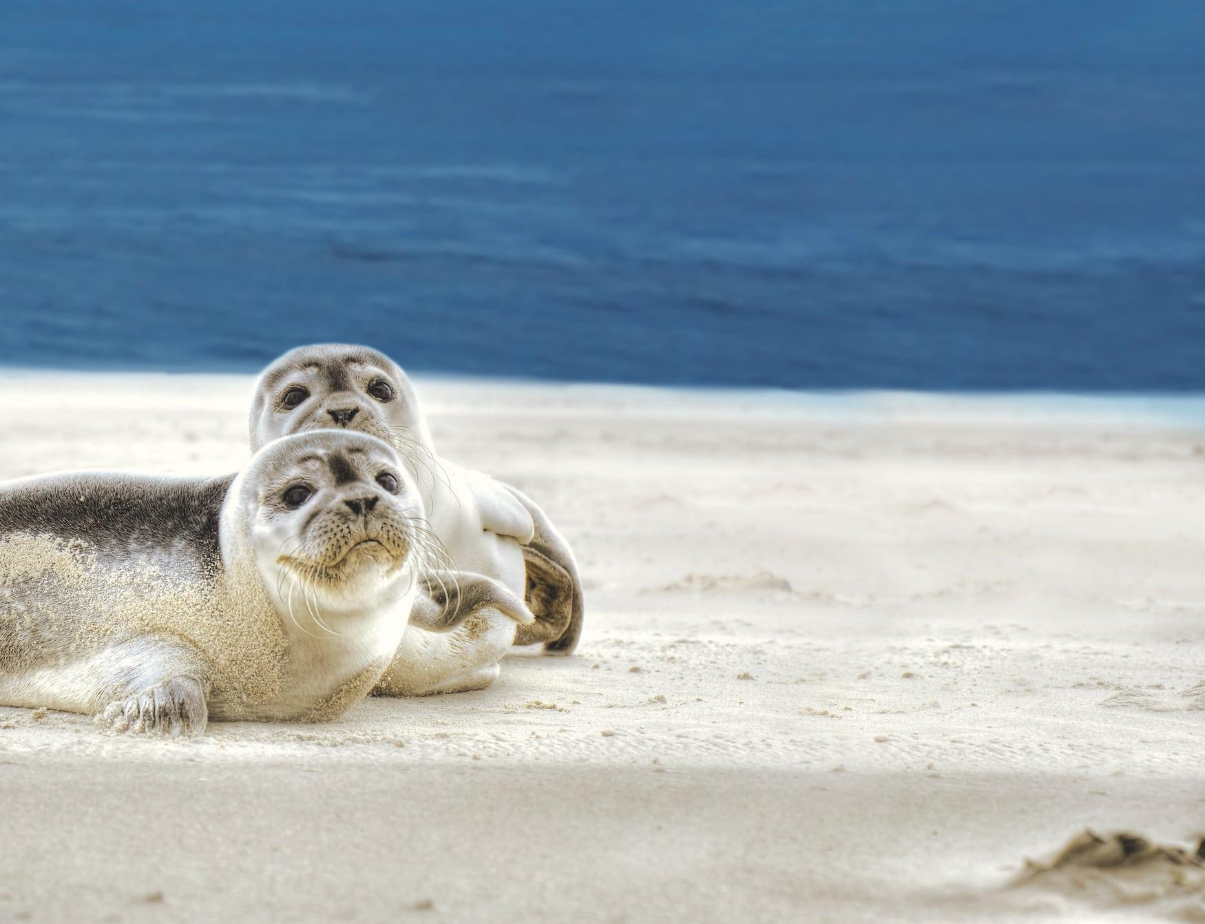 Seehundebänke bei Spiekeroog in der Nordsee