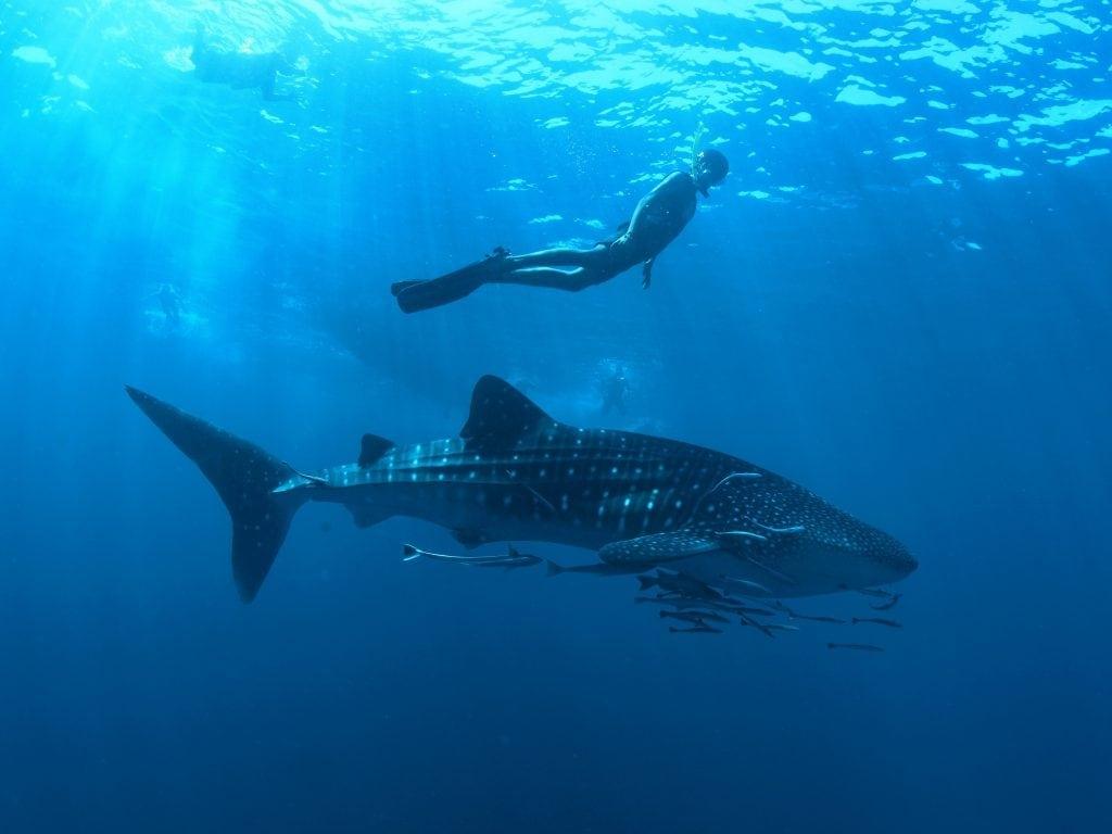 Das Schnorcheln mit Walhaien auf den Seychellen ist ein Erlebnis!