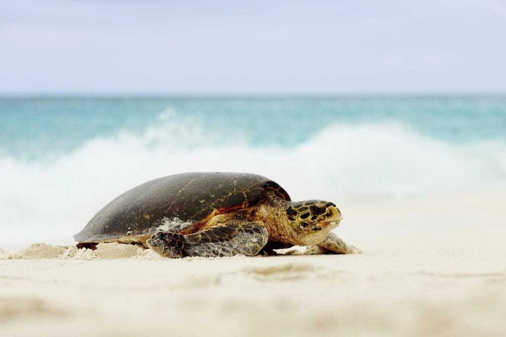 Meeresschildkröten gibt es auf den Seychellen zur Genüge.