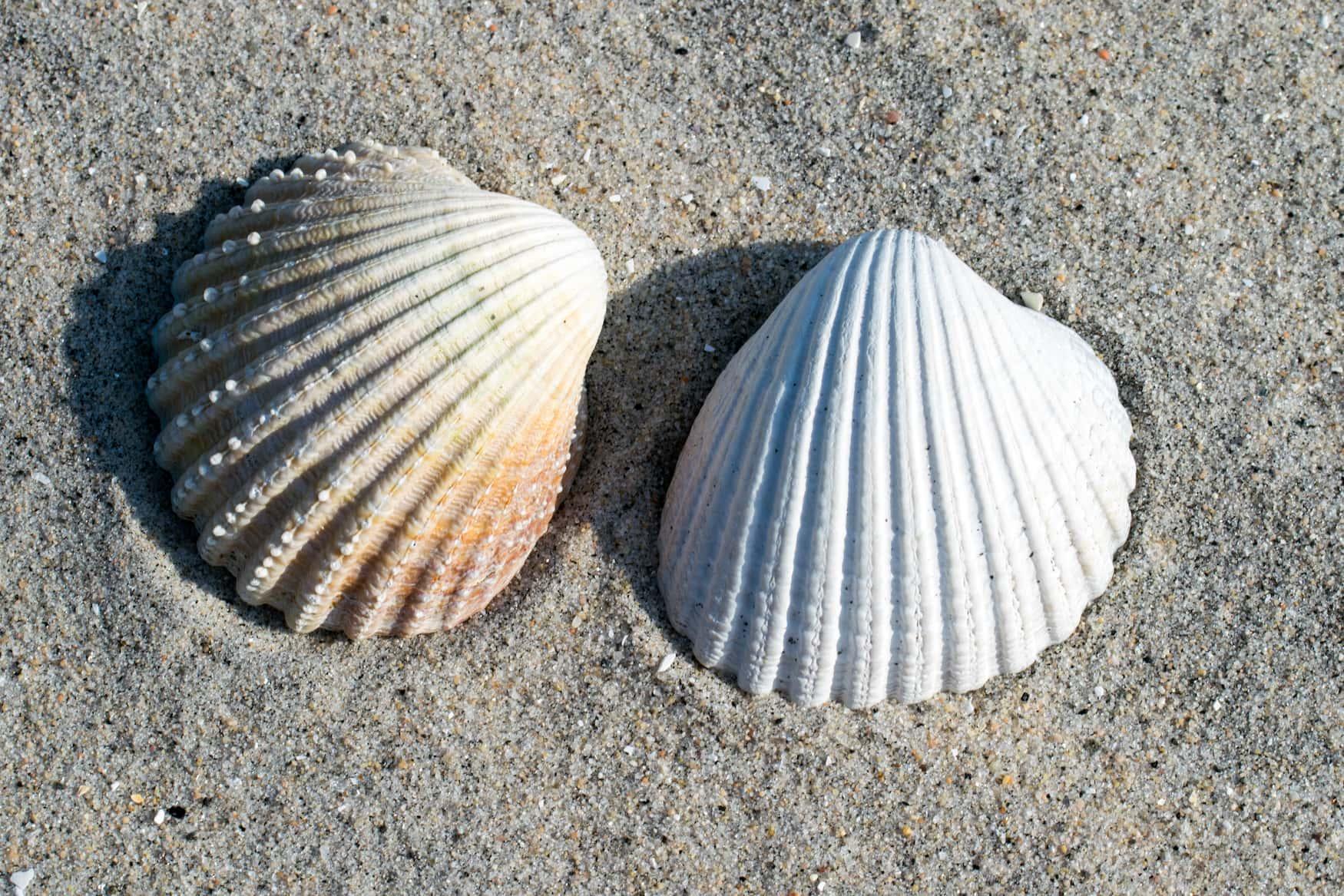 Herzmuscheln gehören zu den Small Five des Wattenmeers
