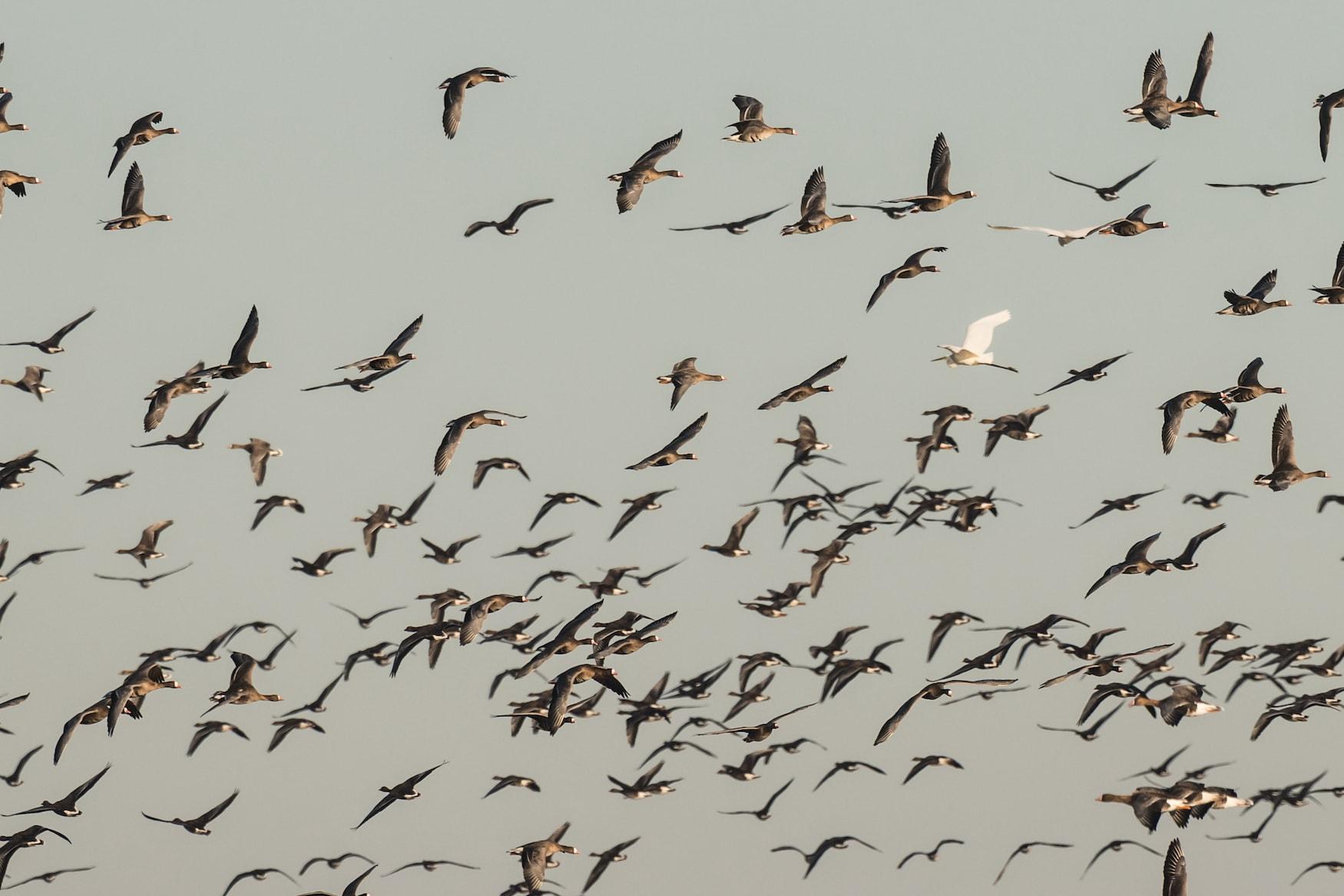 Zugvögel fliegen über Nordseeküste in Deutschland