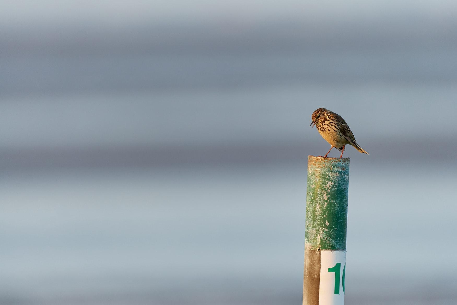 Zugvögel Deutschland: Hier sieht man einen Singvogel auf einem Pfahl in der Nordsee