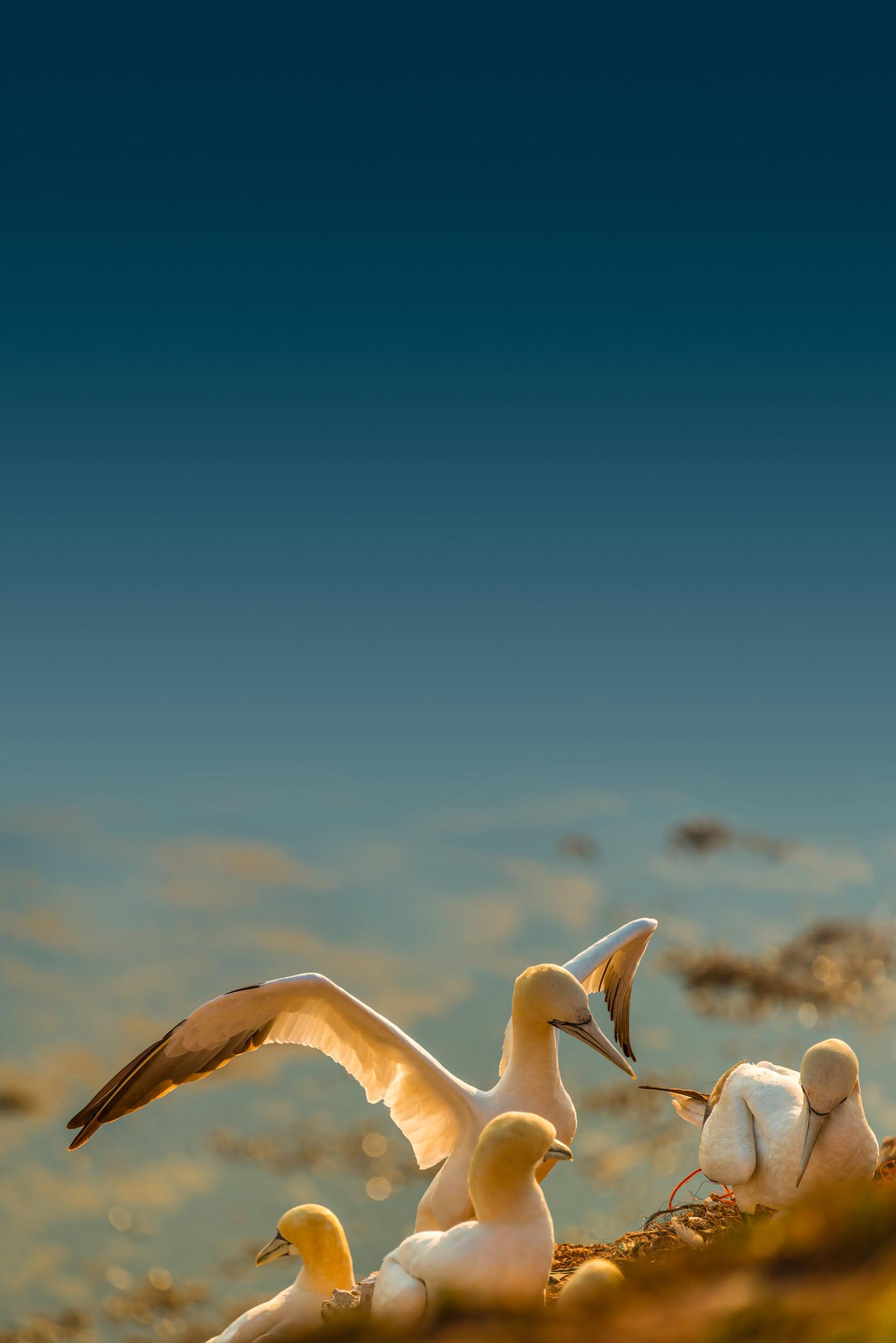 Wildgänse auf Helgoland bei Sonnenuntergang