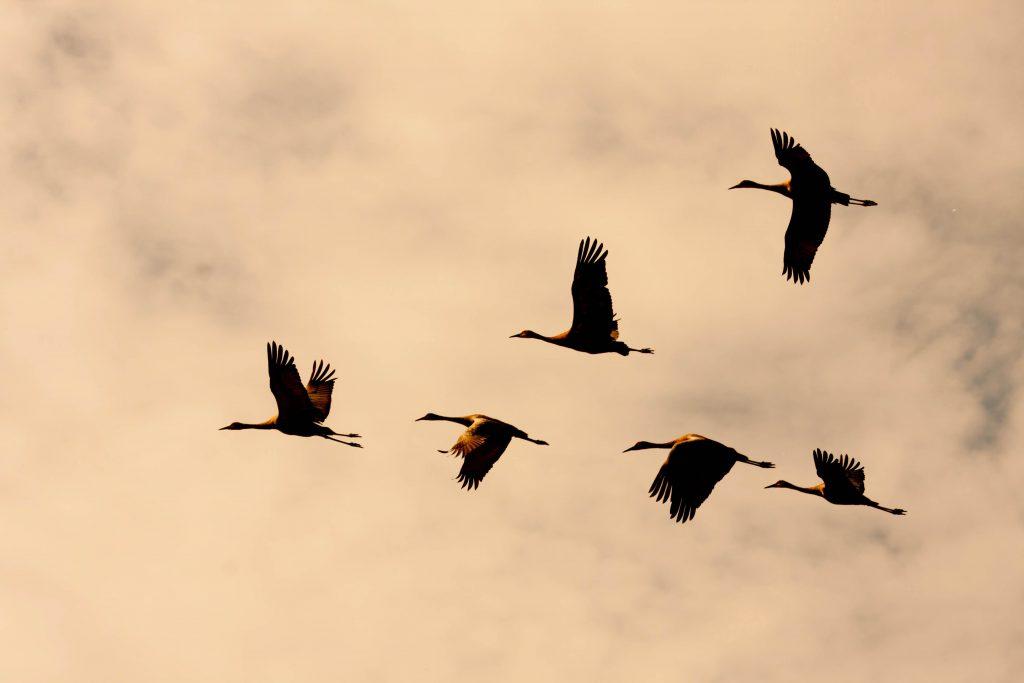 Zugvögel in Schleswig-Holstein